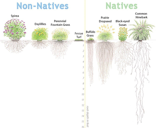 nativesillustration_natives-non-natives_600x491